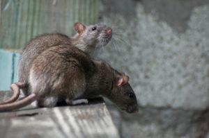 rat con
